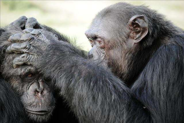 Chimpancés de la Fundación MONA- Miquel Llorente, Fundación MONA