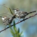 Descubren un elemento del lenguaje humano en el canto de un pájaro