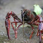 Diseñan biosensores con propiedades fluorescentes a partir del cangrejo rojo del Guadalquivir
