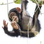 El uso de herramientas es 'innato' en los chimpancés pero no en los bonobos