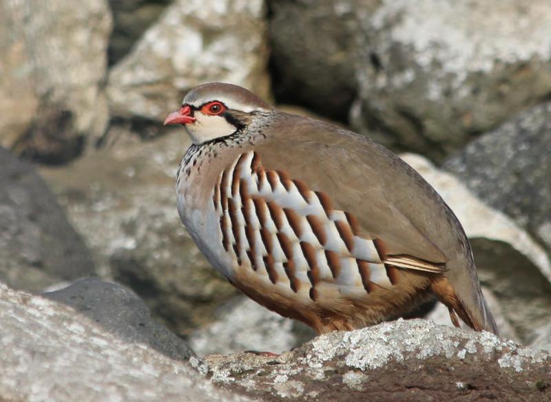 La exposición al plomo afecta al sistema inmune de las aves silvestres