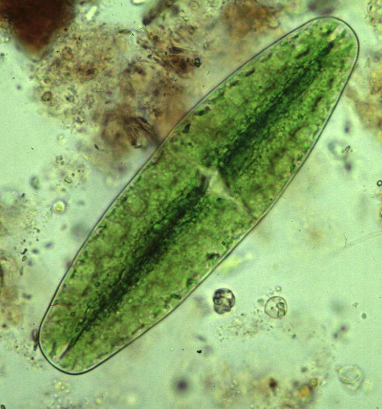 Las algas unicelulares actúan como biosensores para mejorar el diseño de nanomateriales