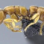 Las hormigas Drácula cazan bajo tierra en Madagascar y las Seychelles