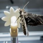 Las polillas halcón ralentizan su sistema nervioso para tener visión nocturna