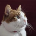 Los gatos domésticos, grandes depredadores