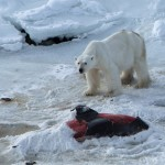 Osos polares que se alimentan de delfines