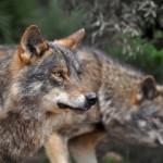 El hombre vs. el lobo, nuevamente. Cazarlos para controlar su población