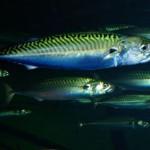 Utilizan parásitos como indicadores naturales de la ecología de peces