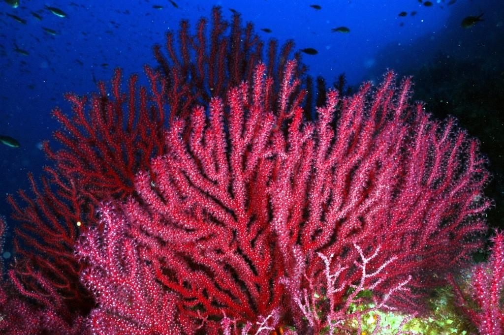 La gorgonia roja, un organismo clave para mejorar la gestión y conservación en las reservas marinas