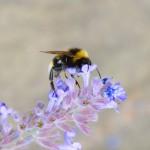 El cambio climático provoca el declive de los abejorros (VIDEO)