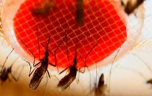 El mosquito Oxitec controla al Aedes aegypti en Brasil