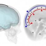 El cerebro moldea la forma del cráneo pero no la extensión de los huesos