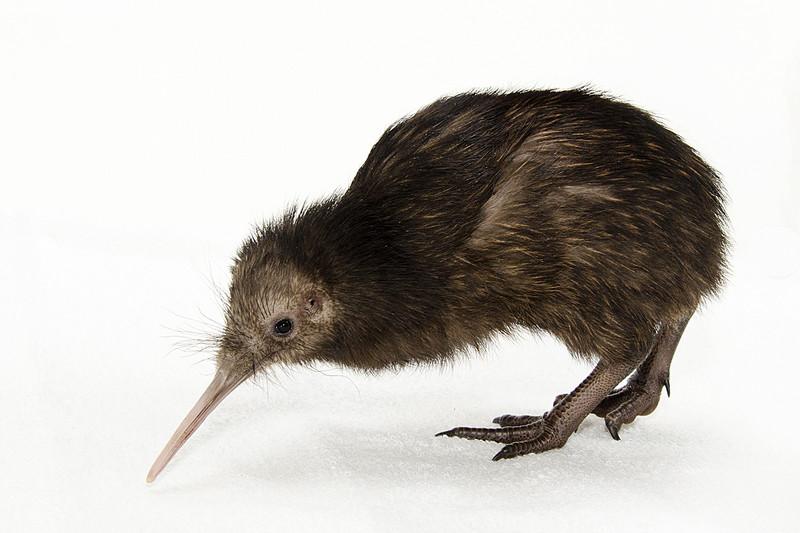 El genoma del kiwi revela las claves de su peculiar visión nocturna
