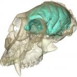 El pequeño pero complejo cerebro de los monos del Viejo Mundo