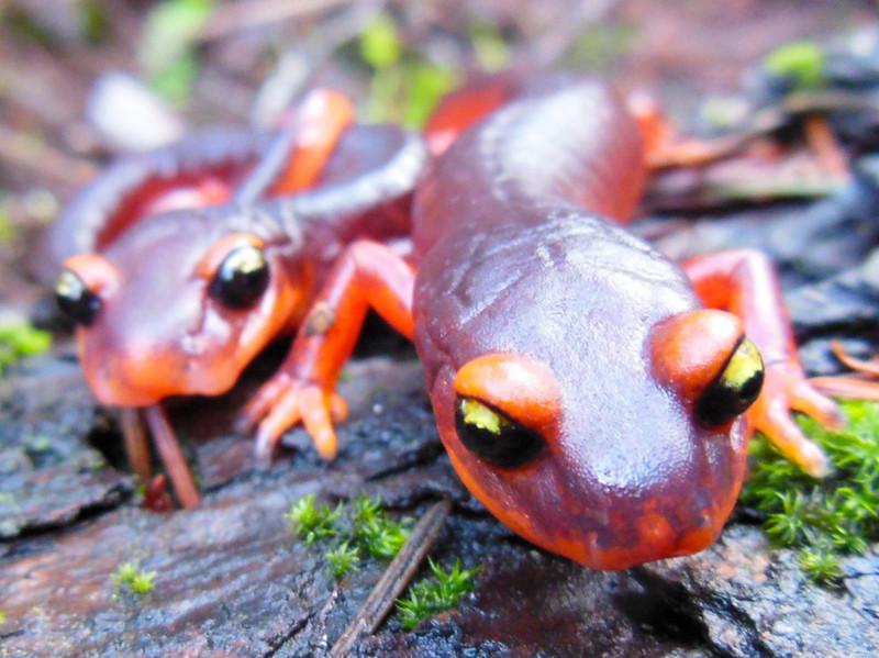 Hongos tóxicos de Asia amenazan a las salamandras de Norteamérica