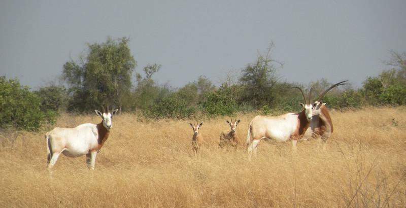 Identificadas las especies de ungulados norteafricanos en peligro de extinción
