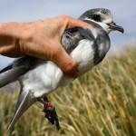 La segregación es clave para la supervivencia de los petreles antárticos