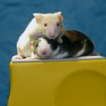Las alteraciones en el ciclo de sueño provocan obesidad y cáncer en ratones