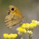 Las flores polinizadas por insectos tienen una fragancia más fuerte que las fecundadas con el viento
