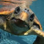 Las tortugas bobas del Atlántico están menos contaminadas que las del Mediterráneo