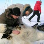 Los osos polares resisten peor el deshielo del verano de lo esperado