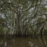Los peces del Amazonas, amenazados por la desaparición de los bosques inundados