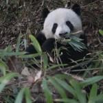Los pandas gastan menos energía para permitirse una dieta a base de bambú