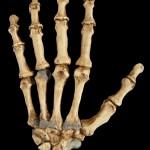 ¿Por qué los neandertales utilizaban los dientes como tercera mano?