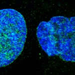 Un tratamiento duplica la esperanza de vida de ratones con envejecimiento acelerado