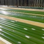 Una microalga de ambientes extremos es capaz de producir biocombustible