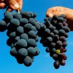 Con hormona vegetal, logran frutos más grandes y resistentes