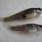 Colombia: Siembran peces guppy para atacar al vector del chikungunya