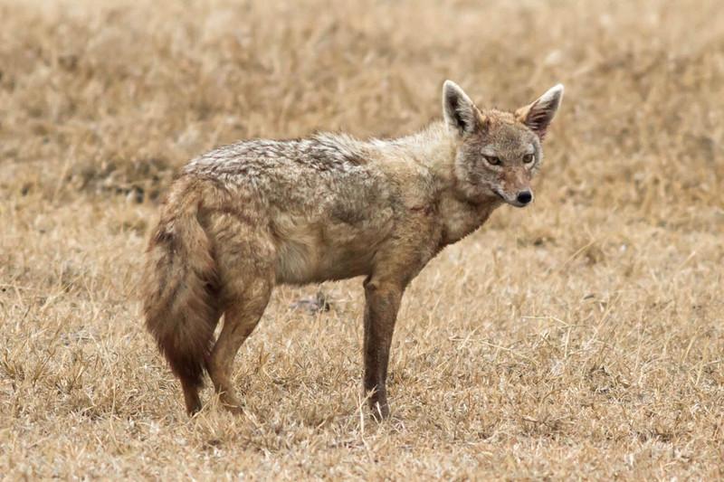 Chacal en el Área de Conservación de Ngorongoro (Tanzania)- Daniel Montero López y Borja Figueirido