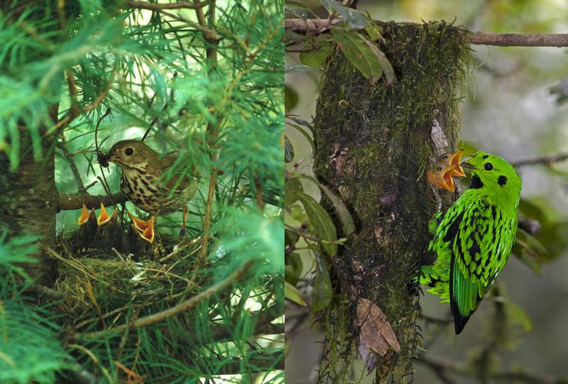 El crecimiento de las aves tropicales depende del riesgo de depredación