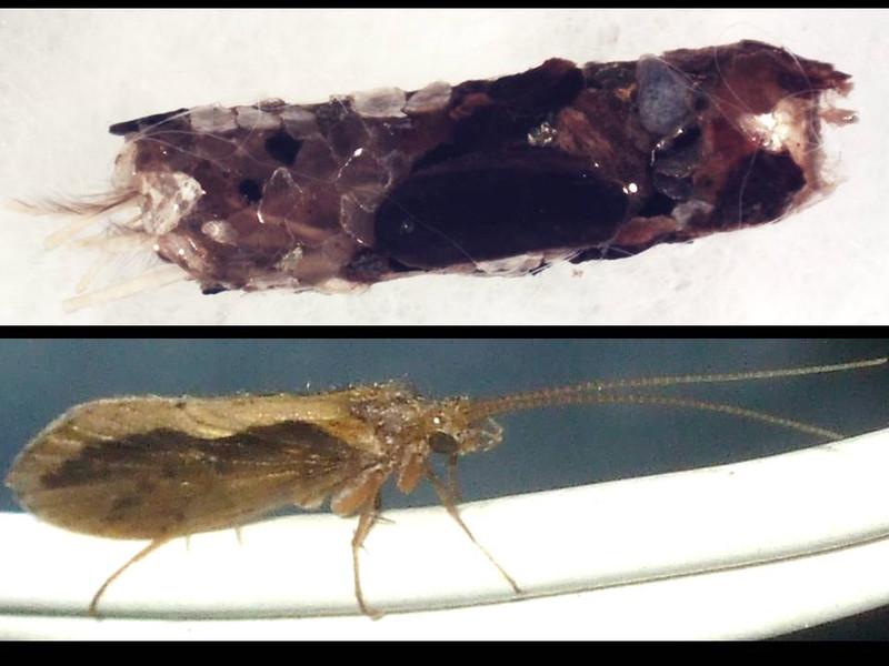 Insectos acuáticos construyen refugios con piedras en perfecto equilibrio
