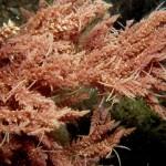 La flora invasora del mar Mediterráneo, a un click