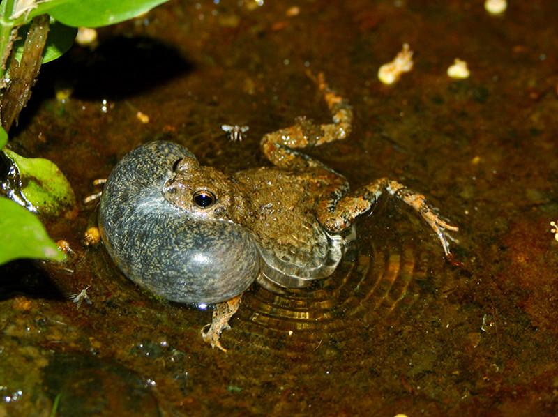 La hembra de una especie de rana no siempre elige al macho más atractivo
