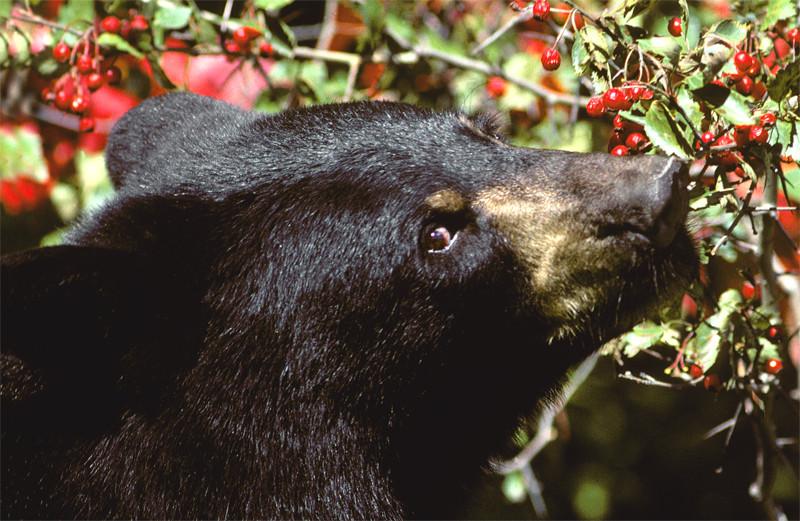 Los osos negros de Yosemite prefieren las plantas a la comida de los humanos