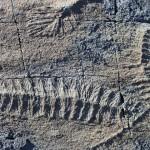 Nuevos fósiles revelan cómo se reproducían los organismos ediacáricos