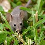 Ratones y plantas comparten un mecanismo de control en la división celular