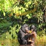 Los bonobos emiten sonidos parecidos a los de los bebés humanos