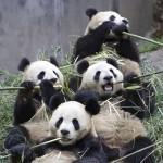 Los pandas tienen un ritmo vital único entre los animales