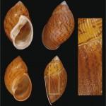 Recolectado en el siglo XIX, descubierto en el siglo XXI: Un molusco terrestre ecuatoriano