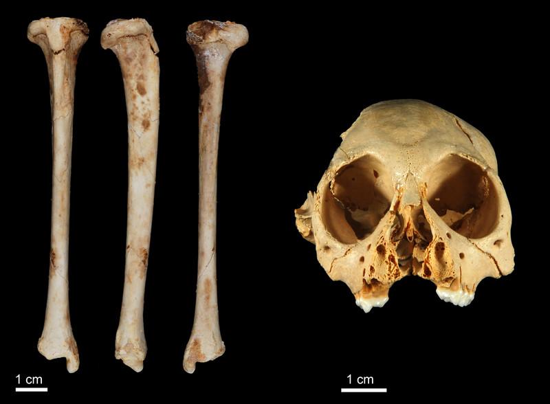 Descubierto un mono en el Caribe de hace un millón de años