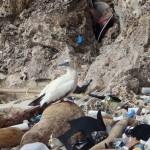 El 99% de las aves marinas habrá ingerido plásticos en 2050