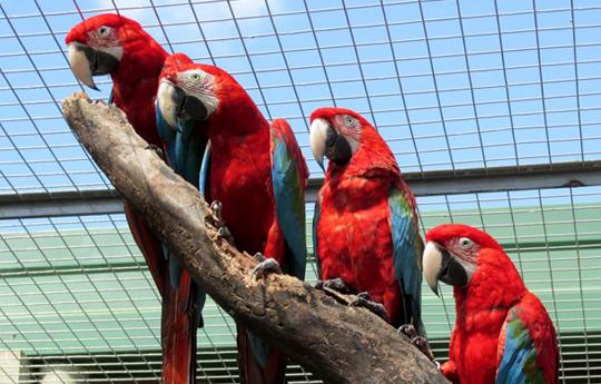 Guacamayo rojo, el habitante de los bosques argentinos que volverá tras 200 años de ausencia