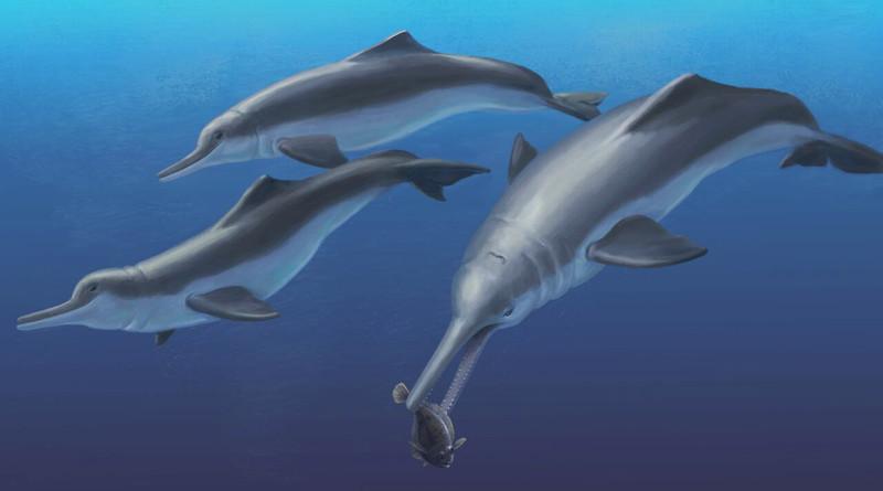 Hallada una nueva especie fósil de delfín de río en Panamá