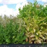 La domesticación de las plantas ha aumentado su capacidad competidora