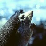 Las crías de lobo marino escuchan las llamadas de sus madres desde largas distancias