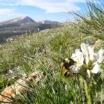 Los abejorros se adaptan a la disminución de las flores